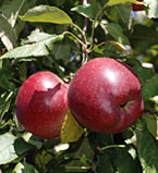 Chieftain apples